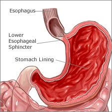 Stomach Organ